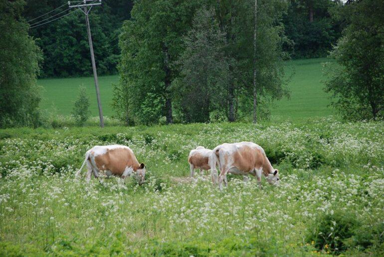 Finnish cows in green pastures of Räikälä in Laurinmäki Janakkala