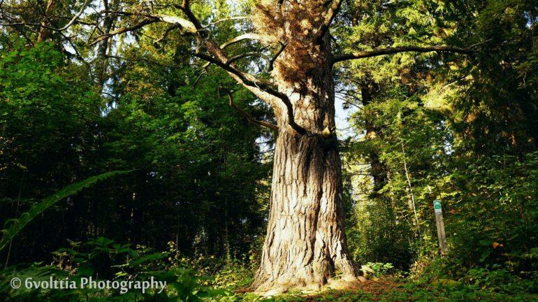 Old, protected pine tree along Laurinmäki nature trail, Janakkala