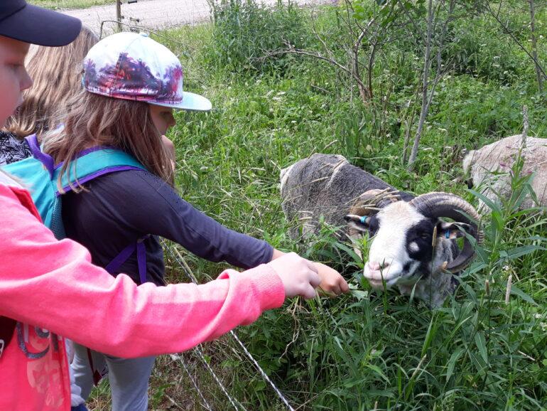 Lapset tutustuvat pässiin Räikälän kievarin kentällä Laurinmäen alueella