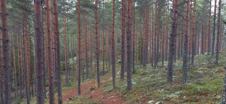 Mäntyinen rinnemaisema Janakkalan Rahitunmäestä.