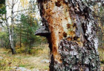 Lahoamassa oleva koivu keskellä metsää. Kyljessä suuri pahka.