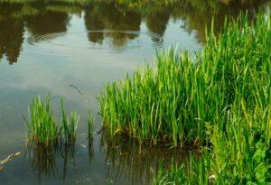 Vihreä ja korkeaskasvuinen heinä, isosorsimo, kasvaa vesistön rannalla.