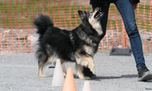 Koira agilityssa.